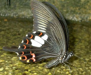 375px-Black_Butterfly_with_red